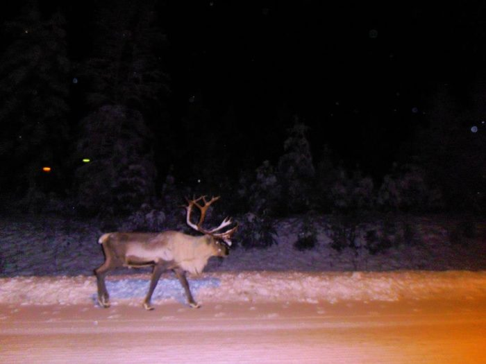Reindeer around Rovaniemi airport