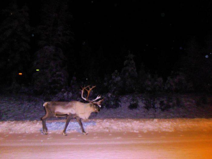 Reindeer around Rovaniemi airport