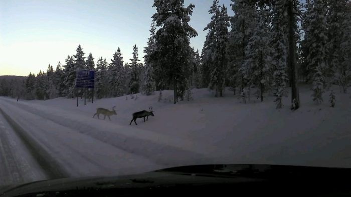 Reindeers on the road to kittilä