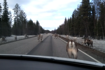 Reindeers around Rovaniemi on the road