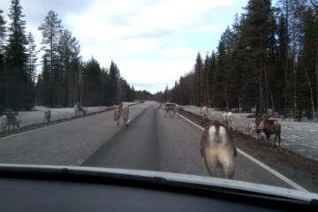 Reindeers around Rovaniemi on the road
