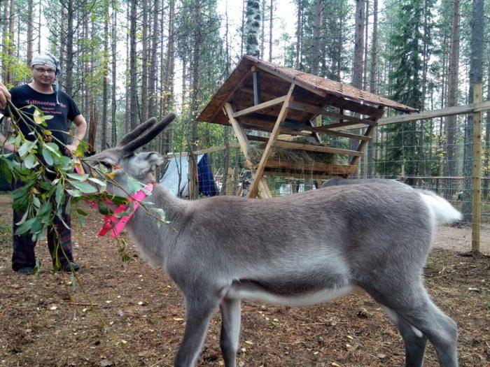 Où trouver des rennes à Rovaniemi